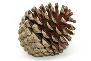 Evil evil pinecone.